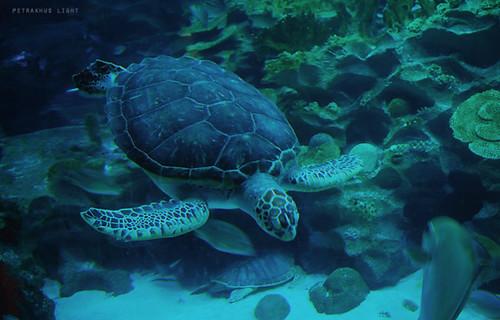 Aquaria - Turtle
