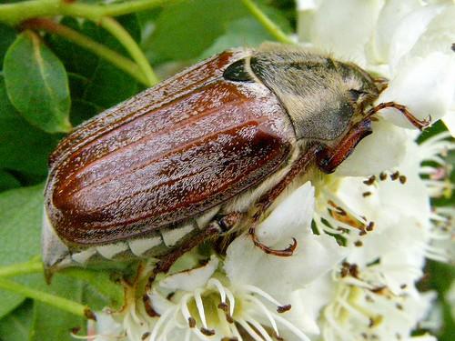 Maybug on may blossom.