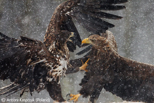 Clash of eagles by you.