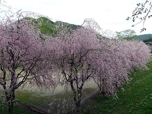 枝垂れ桜~興屋集落