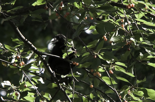 crow in cherry tree