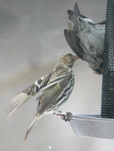 Feisty siskin