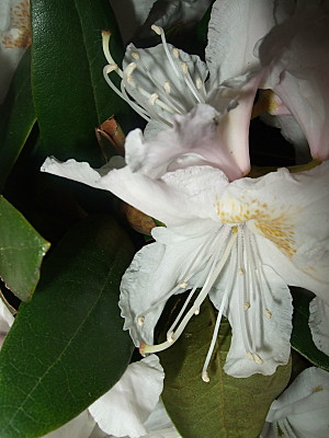 and finally a shot of some of the rhodie flowers i cut from the front garden...