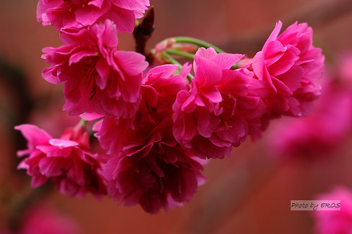 美麗的桃紅色八重櫻