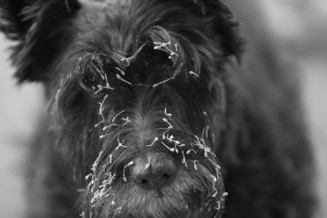 Scottish Terrier dog with burrs