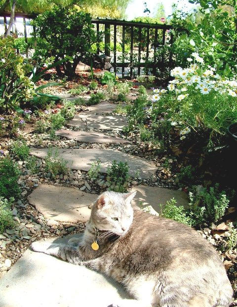 Sweetpea lounging after grazing the newly transplanted creeping thyme (inbetween flagstone)