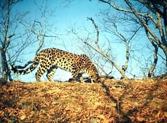Amur leopard, south-eastern Russia