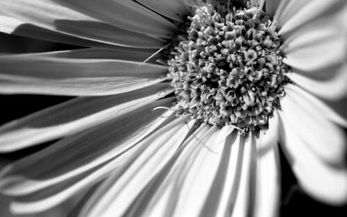 Gerbera Daisy. (Efke 25. Nikon F100. Epson V500.)