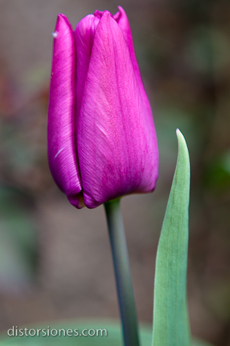 Tulipán púrpura