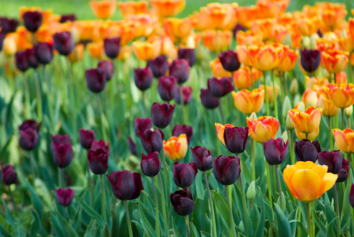 Istanbul Tulip Festival, Black tulips and Yellow Tulips, İstanbul, Pentax K10d