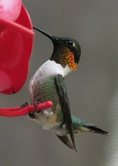 Ruby-throated hummingbird, male (Archilochus c...
