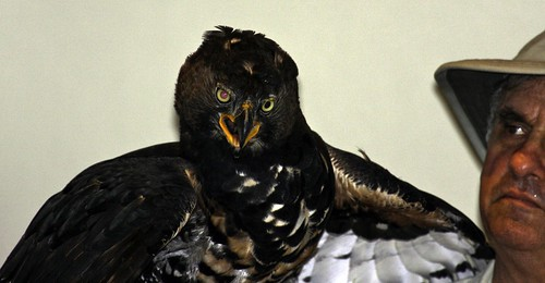 Queenie the Crowned Eagle