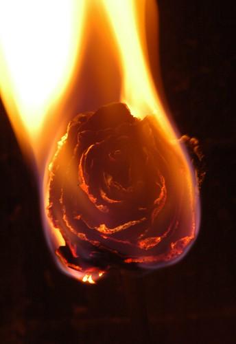 Fiery rose by Zyada, on Flickr