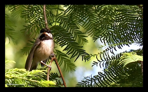 Baby Chickadee in the Dawn Redwood, waiting for mom to come back by you.