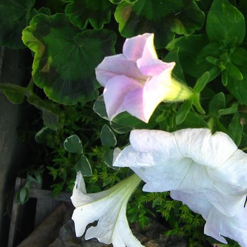2011_06_06 - flowers 005