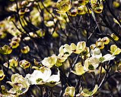 Yellow Tree Flowers