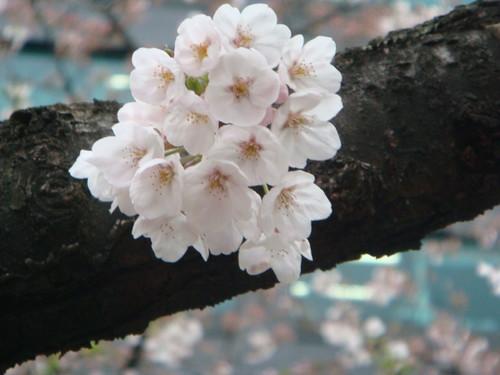 sakura by you.
