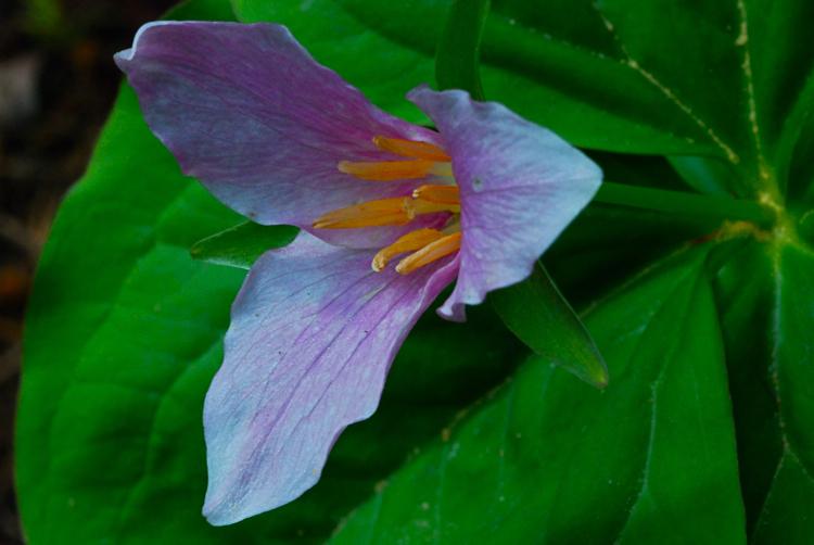Pacific Trillium