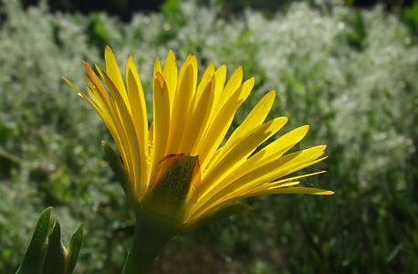 chorina amarela - perfil