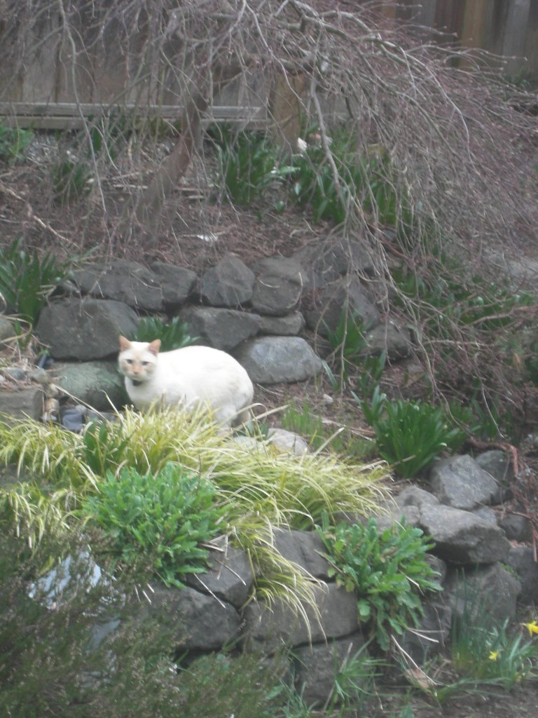 Pond visitor - white cat