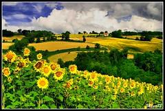 Sunflowers, Italy