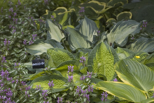Hosta 'Paradigm' & 'Guardian Angel'
