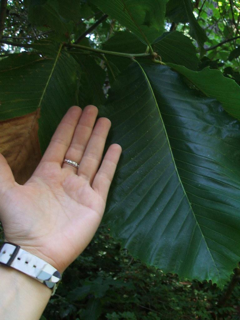 Quercus pontica (Pontine Oak)