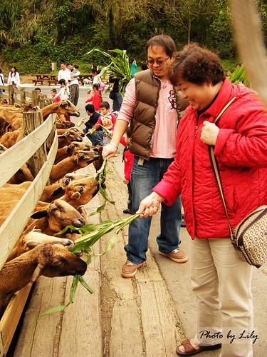 老媽跟老弟開心的餵羊兒們吃牧草