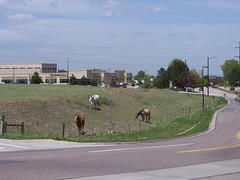 Dont forget to enjoy the view.  I know Denvers a cow town, but isnt this taking things a bit far?  Yes, those are horses, in the middle of a very suburban part of metro Denver surrounded by shopping centers and office buildings.