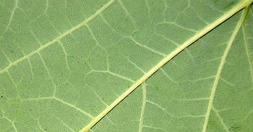 Leaf Texture 08