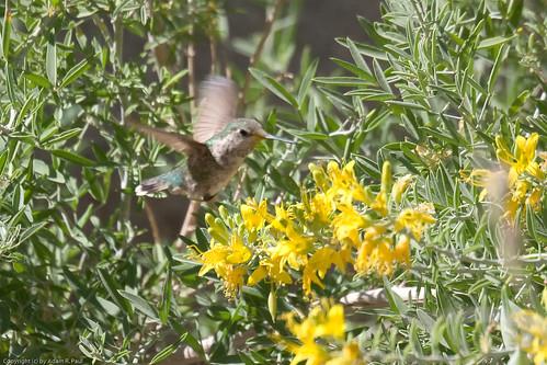 Costa's Hummingbird by you.