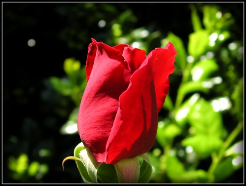 In our garden: Rose