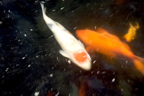 lungshan temple - koi fish