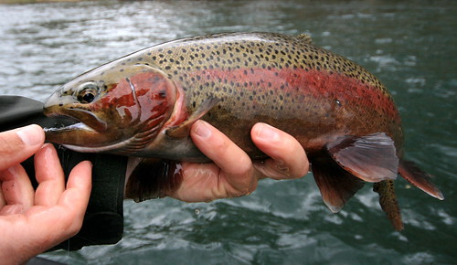 Greg holds a rainbow trout. Beautiful!