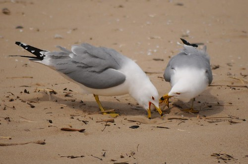 Ring-billed Gull 88