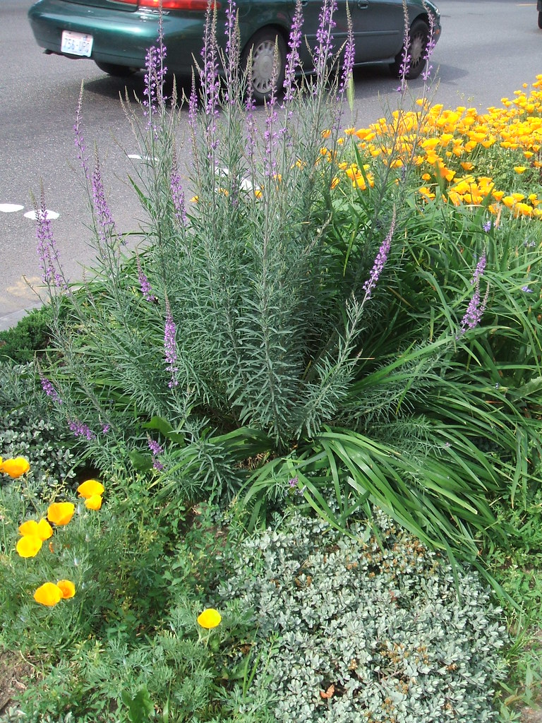 Linaria spikes in Wallingford parking strip