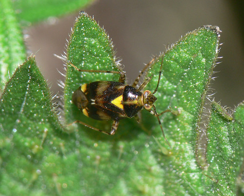 Nettle bug (Liocoris tripustulatus)
