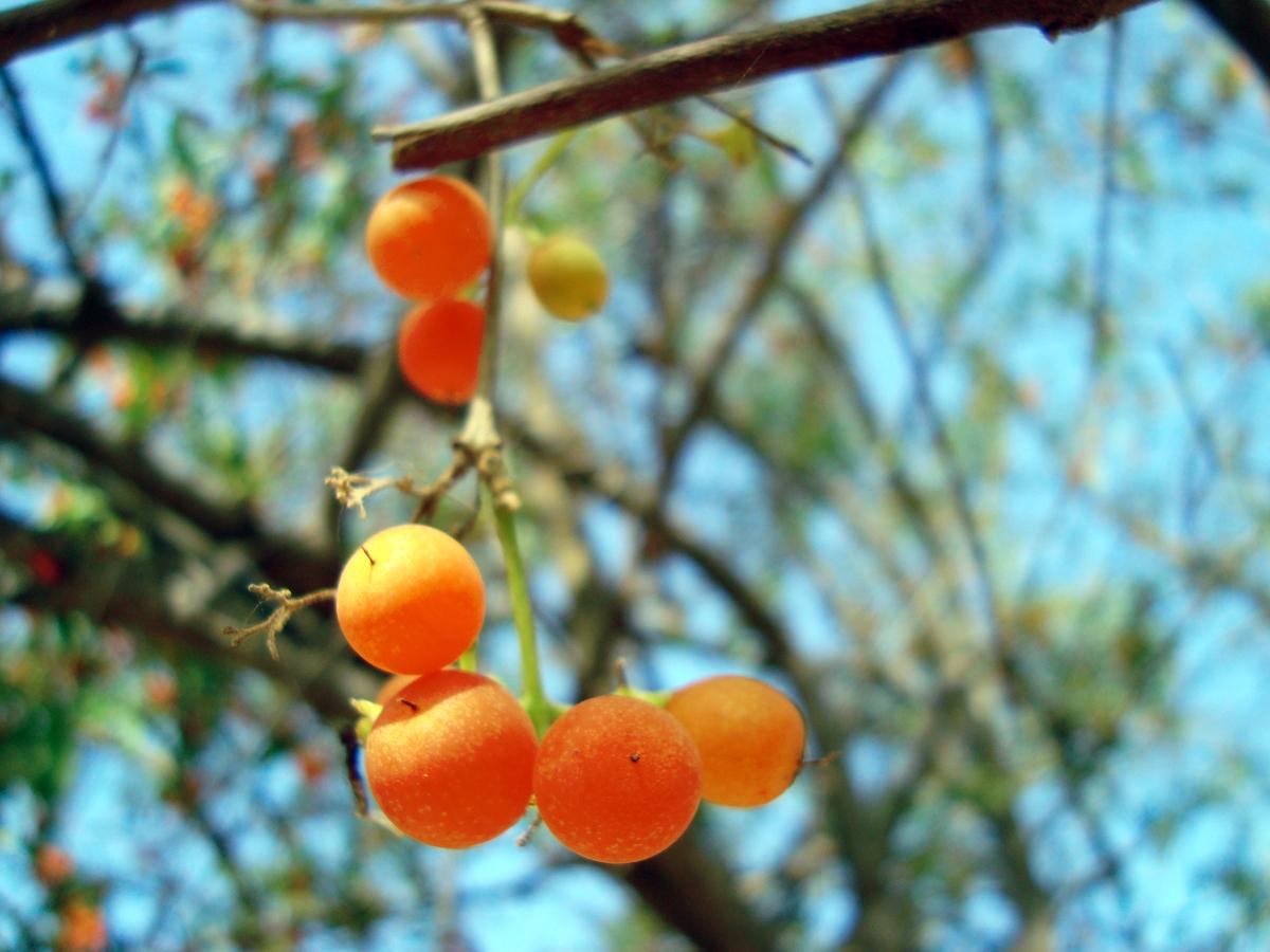Gundi fruit