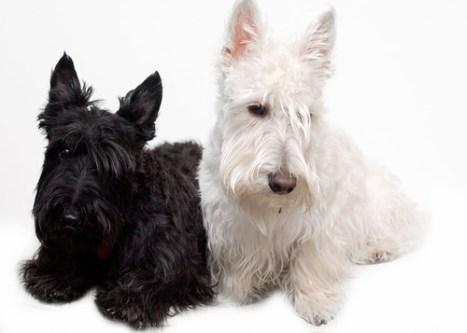 Black and wheaten Scottish Terriers