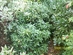 Sarcococca hookeriana var hookeriana - Plants For Dry Shade
