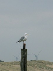 Seagull in Rye Harbour