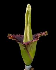 Amorphophallus titanum #1