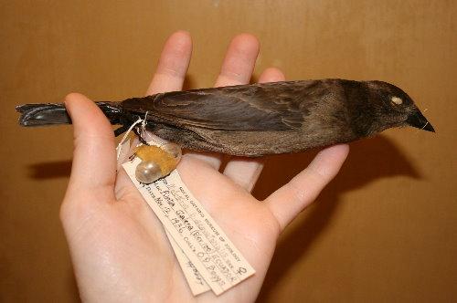 Blackbird skin at Royal Ontario Museum