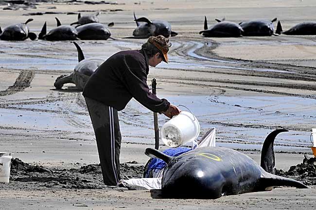 Baleias que deram á costa na Ilha de King