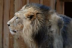 Indischer Löwe im Zoo Tallinn