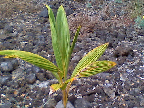 SMALL COCONUT PALM