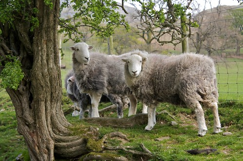 Sheep just lounging around