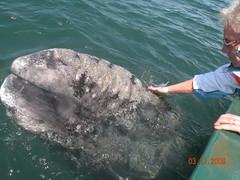 grey whales in san ignacio lagoon - baja calif...