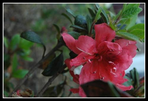 Azalea blossom