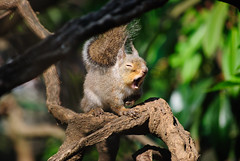 Squirrel yawning